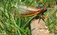 A Brood X cicada in 2004. │ Pmjacoby